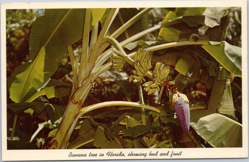 Banana tree in Florida, showing bud and fruit
