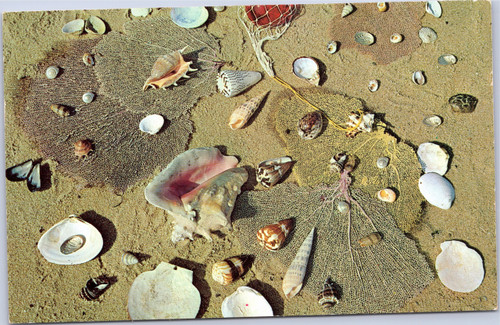 Florida seashells