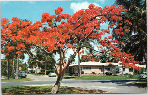 Royal Poinciana on Florida street corner