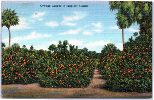 Orange Groves in Tropical Florida