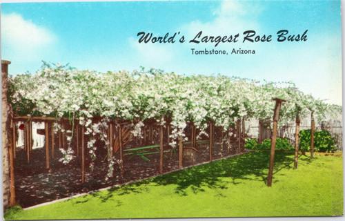 World's Largest Rose Bush