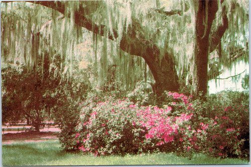 Spanish Moss and azaleas