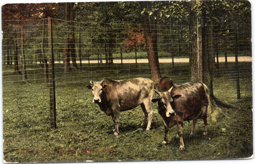 Sacred Cows of India at Belle Isle Zoo