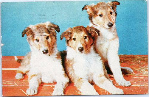 Three collie puppies