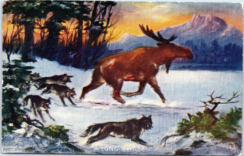 Wolves hunting Moose