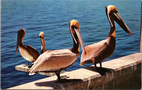 Four Pelicans on pier