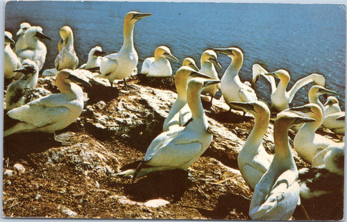 Gannets on Bonaventure Island Bird Sanctuary