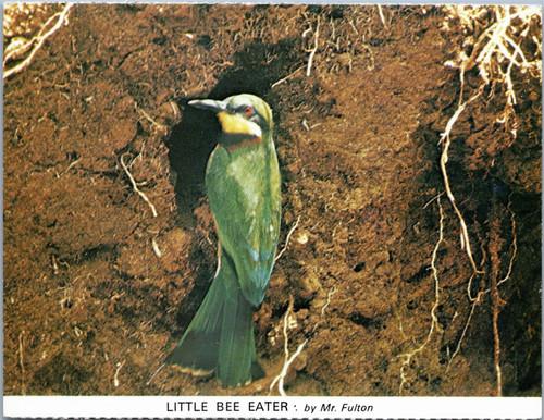 Little Bee Eater