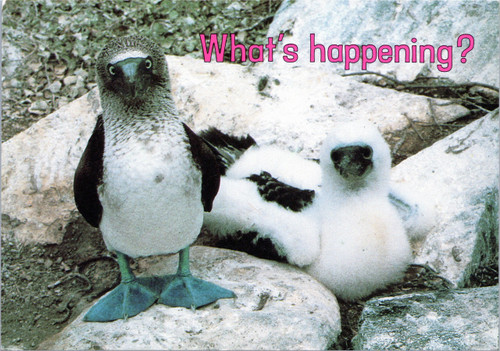 What's happening? - Blue-footed booby and chic