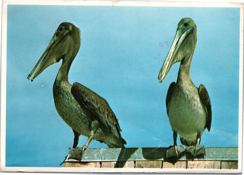 Florida Pelicans