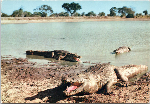 Crocodiles coming out of river