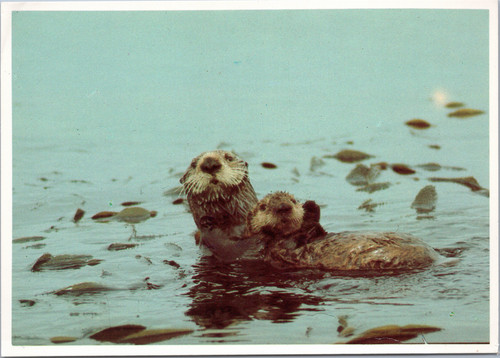 Female Sea Otter with small pup