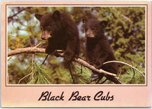Black bear cubs on tree limb