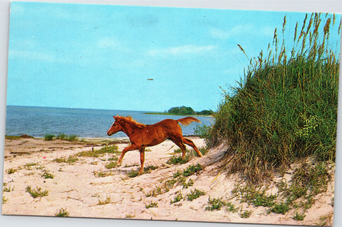 Wild Pony - North Carolina Outer Banks