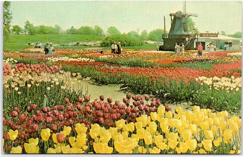 Holland Mi Tulip Festival 2020.Postcards Flowers And Plants Flowers Page 1 The Gayraj