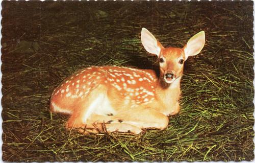 Deer fawn