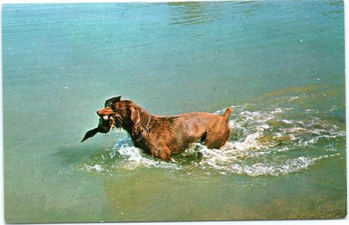 dog duck water