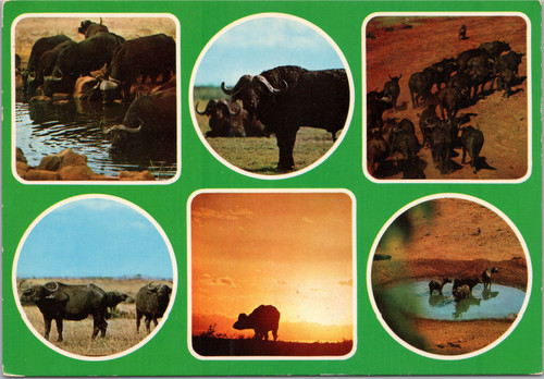 Buffalo multiview postcard - Wildlife - East Africa