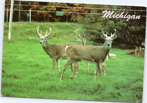 Michigan Whitetailed Deer