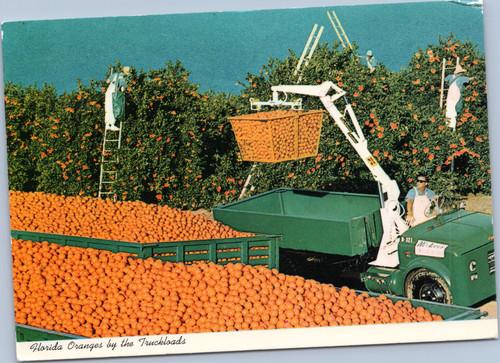 Florida orange picking