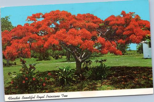 Florida Royal Poinciana