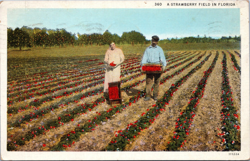 A Strawberry Field in Florida