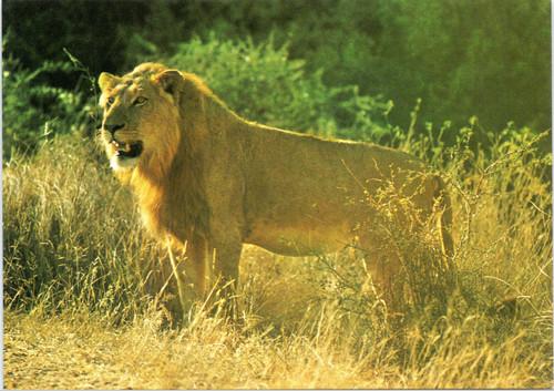 Lion at Kruger National Park