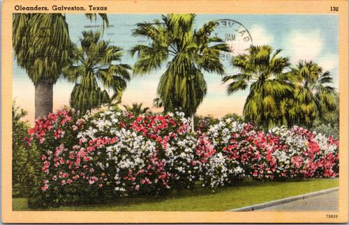 Galveston TX Oleander