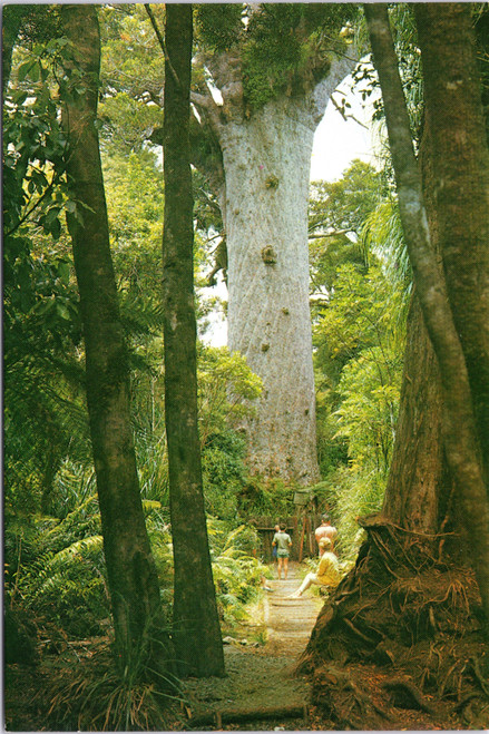 Northland New Zealand Kauri tree