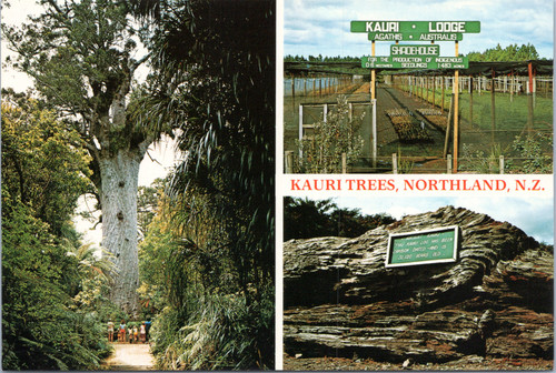 New Zealand Kauri trees
