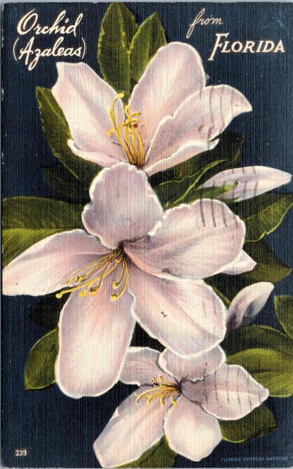 Florida Orchid Azalea