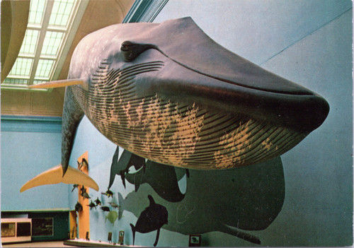 Smithsonian whale