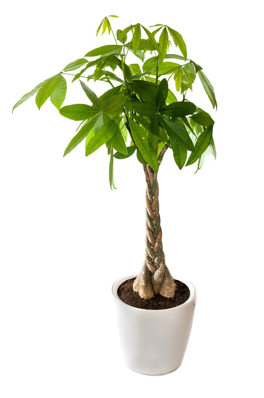Money Tree Great Gift Vogue Flowers