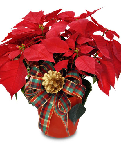 Poinsettia Plant beautifully wrapped for gift giving.