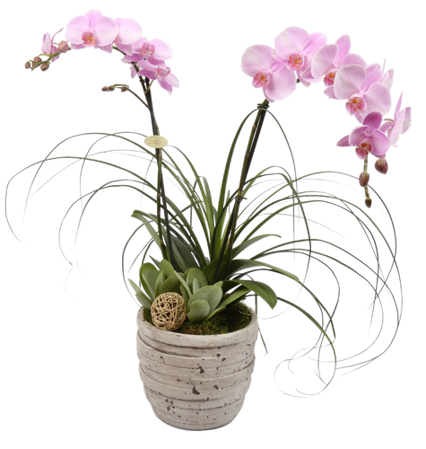 Tuscan Orchid Plant - Fantastic Gift!