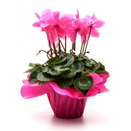 Blooming Cyclamen plant in bright pink