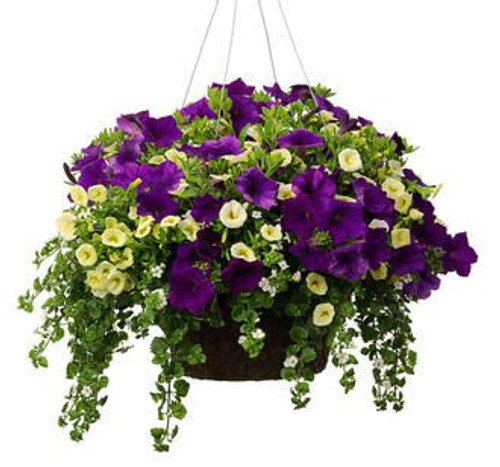 Beautiful blooming hanging extra large hanging baskets