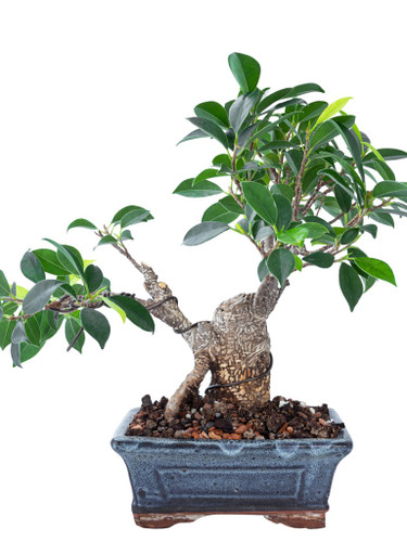 Money tree in a square ceramic container.(colors vary)