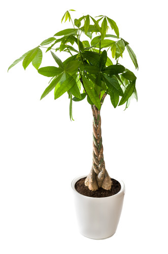 Money Tree Planter is a great easy care gift.