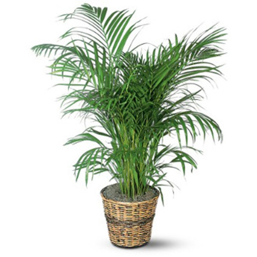 PALM IN A BASKET