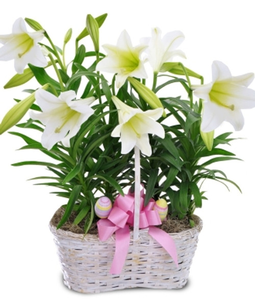 DOUBLE EASTER LILY BASKET