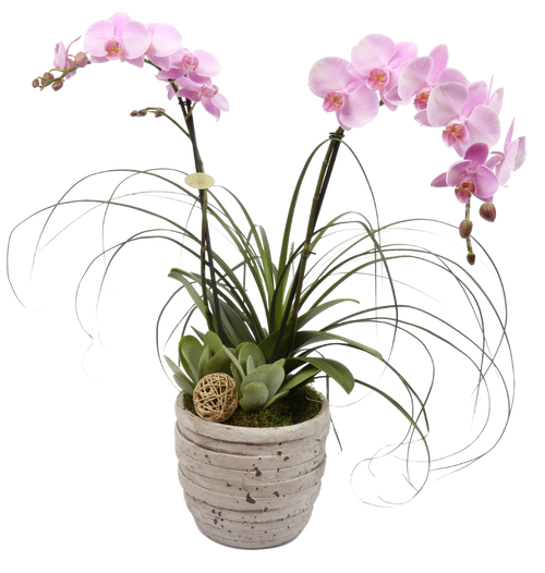 Tuscan Orchid Plant- Great Father's Day Gift