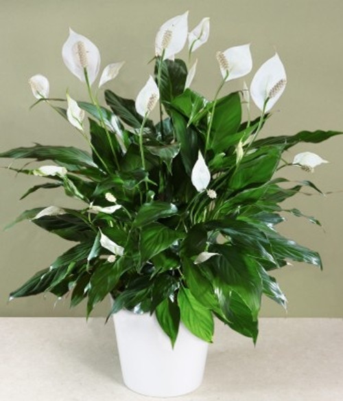 """Beautiful 8"""" Peace Lily in a basket is the perfect gift."""