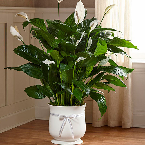 """8"""" Peace Lily in a white planter with """"Comfort"""" ribbon for Sympathy"""