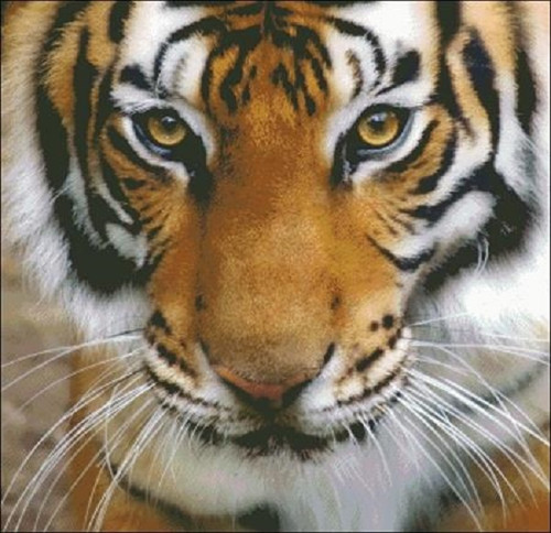 Tiger Stare Counted Cross Stitch Pattern