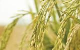 Australian Grain & Rice Shortage 2019