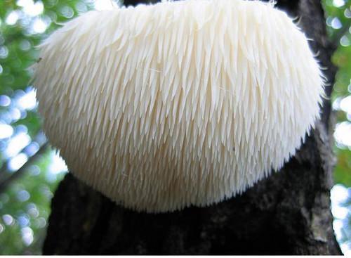 Lions Mane Mushroom Log
