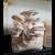 Princess Pearl Oyster Mushroom Kit
