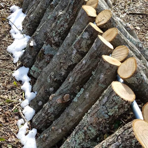 Blue Oyster Mushroom Log