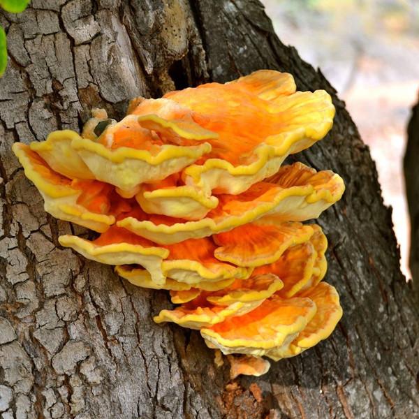 Chicken of the Woods Mushroom Log